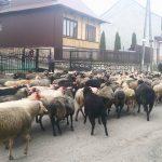 Owce przyszły