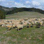 Owce wróciły :)